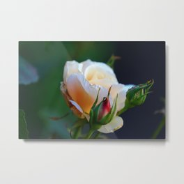 Blossoming Young and Tender Cream-Colored Cream Rose Flower Metal Print