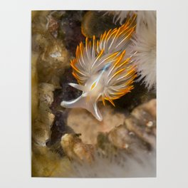 Opalescent Nudibranch Poster