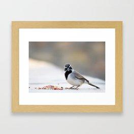 Black Chinned Sparrow Framed Art Print