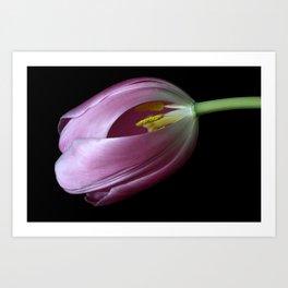Beauty Exposed - Pink Tulip Art Print