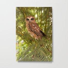 Southern Boobook Owl Metal Print