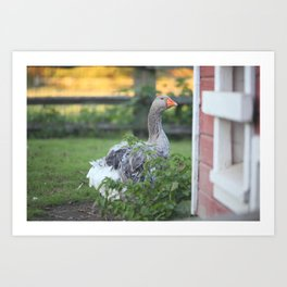 Farmyard Goose Art Print
