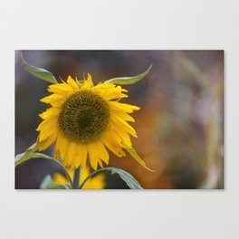 Sunflower in the field Canvas Print