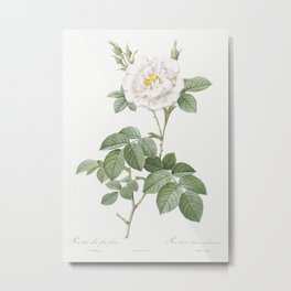 Rosa alba flore pleno also known as Ordinary White Rose from Les Roses (1817-1824) by Pierre-Joseph Metal Print