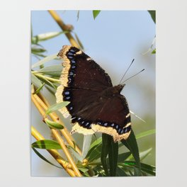 Mourning Cloak Butterfly Sunning Poster