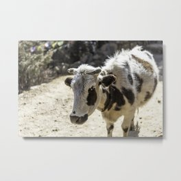 White cow with brown spots Metal Print