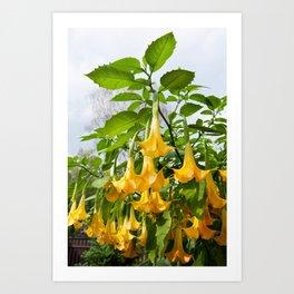Big yellow Brugmansia called Angels Trumpets Art Print