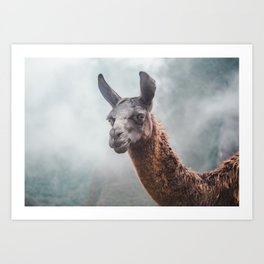 Curious, wise looking guanaco / llama on a misty morning in the Andes mountains, Peru Art Print