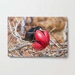 Frigatebird bird of Galapagos Metal Print