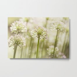 Allium - Onion Flowers 6 Metal Print