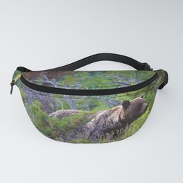 Grizzly mother watches over the area as her young cubs play nearby Fanny Pack