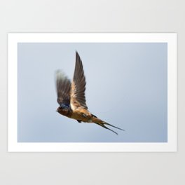 Male barn swallow in flight Art Print