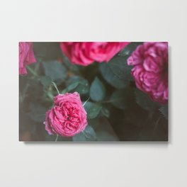 Roses blossom Metal Print