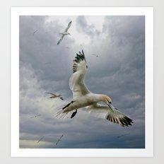 Gannets circling Bass Rock Art Print