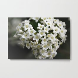 Snowball flower Metal Print