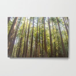 Redwood Trees Metal Print