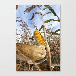 yellowed ripe corn Canvas Print