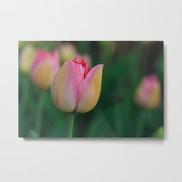 Soft Pastel Colors Tulips at Lake Maggiore in Italy Metal Print