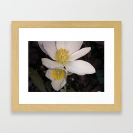 Bloodroot Blooms Framed Art Print