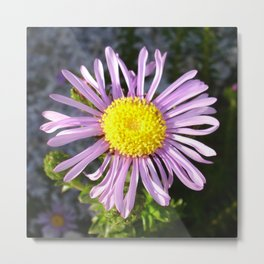 Magenta Aster - A Star of Love and Fidelity Metal Print