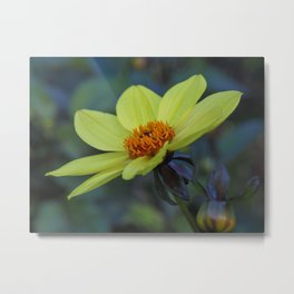 Yellow Dahlia 'Duke of York' Metal Print
