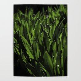 Colchicum autumnale Poster
