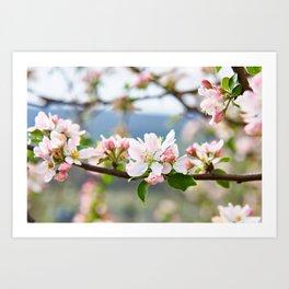 Apple blossom in spring Art Print