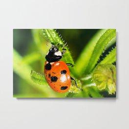 Ladybug Ladybug Metal Print