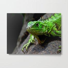 The Lizard King of Aruba Metal Print