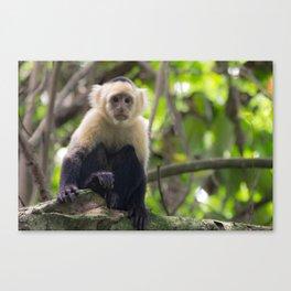 White-faced Capuchin Monkey Canvas Print