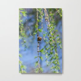 Young larch - Nature photography Metal Print