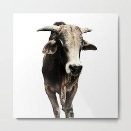 Indian Cow India Metal Print