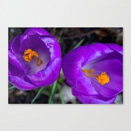 Deep purple and orange crocuses Canvas Print