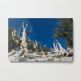 Ancient Bristlecone Pine Forest in California Metal Print