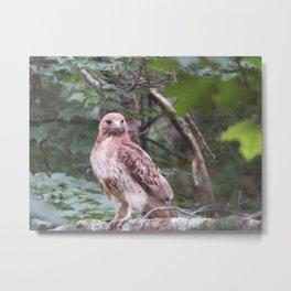 Hawk looking front Metal Print