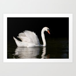 Mute Swan Cygnus olor at lake Art Print