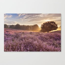 I - Blooming heather at sunrise, Posbank, The Netherlands Canvas Print