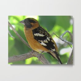 Blackheaded Grossbeak Metal Print