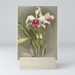 Cattleya (hybrida) arnoldiana from Reichenbachia Orchids (1888-1894) illustrated by Frederick Sander Mini Art Print