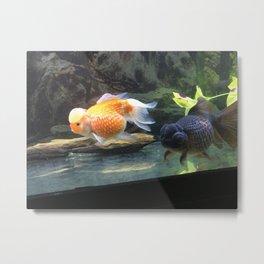 fancy goldfish Metal Print