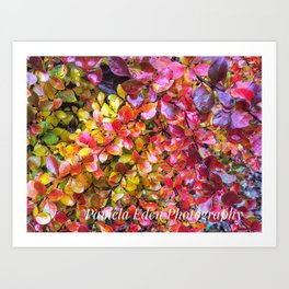Barberry Fall Colors Art Print