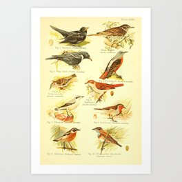 William Playne Pycraft - A Book of Birds (1908) - Plate 29: Blackbirds, Sparrows and Thrushes Art Print
