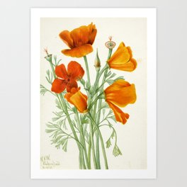 California Poppy Vintage Botanical Print, Mary Vaux Walcott Art Print