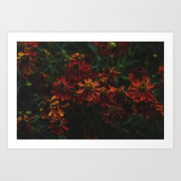 Gaillardia flower Art Print