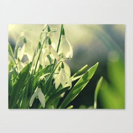 Snowdrops impression from the garden Canvas Print