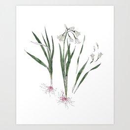 Onion Flower Edible Weeds Illustration Art Print