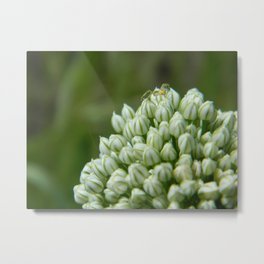 Spider Chive Flower Metal Print