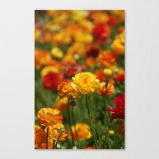 Yellow and orange ranunculus flower Canvas Print