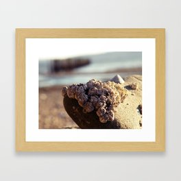 Hood Canal Barnacles Framed Art Print