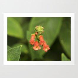 Kohleria from Bud to Bloom Art Print